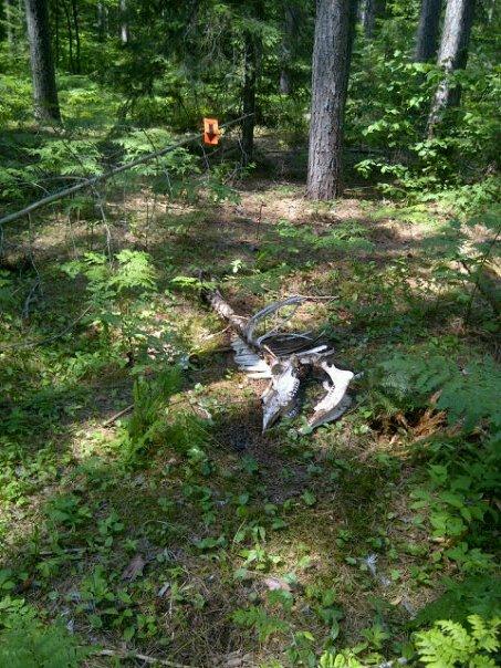 Moose Skeleton @ 2012 2 Day Algonquin